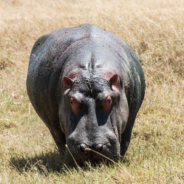Hippopotamus, Norongoro