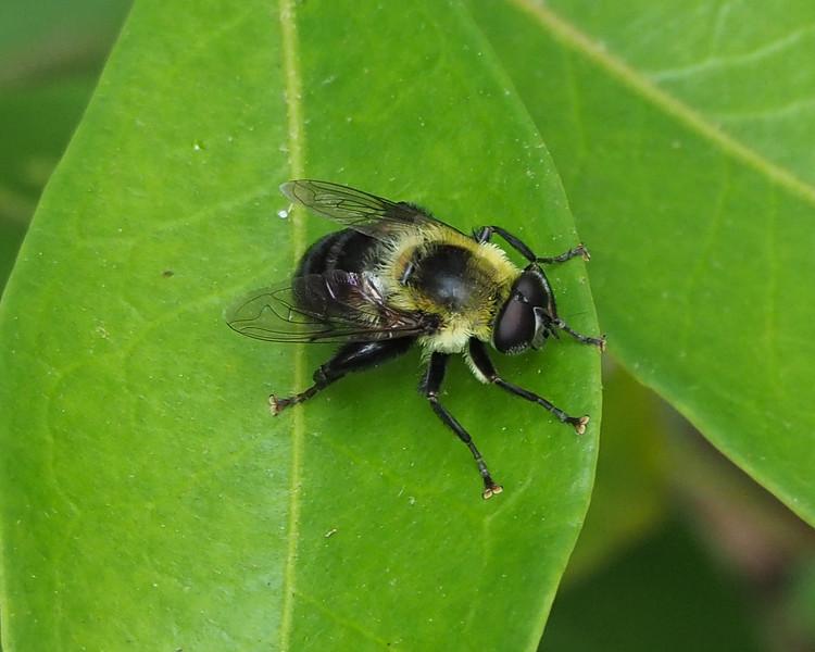 Hoverfly - Mallota bautias