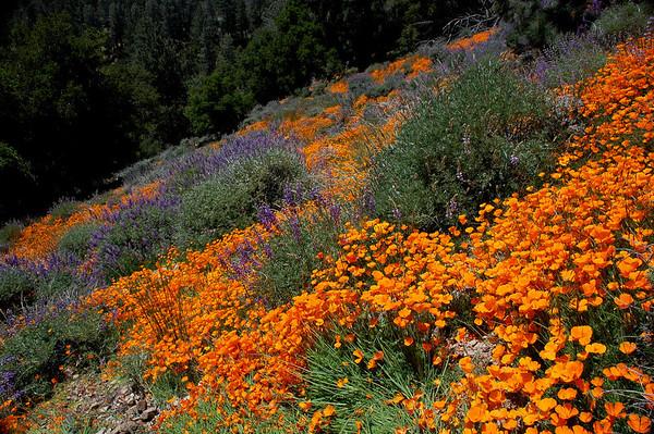 Figueroa Mountain Wildflowers, April 2010