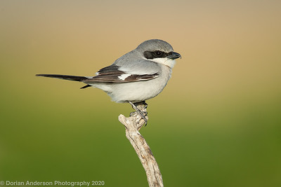 Jays and Crows, Shrikes