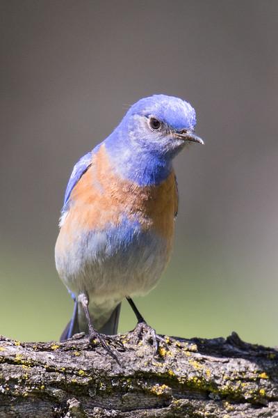 Western Bluebird Spring 2019-1.jpg