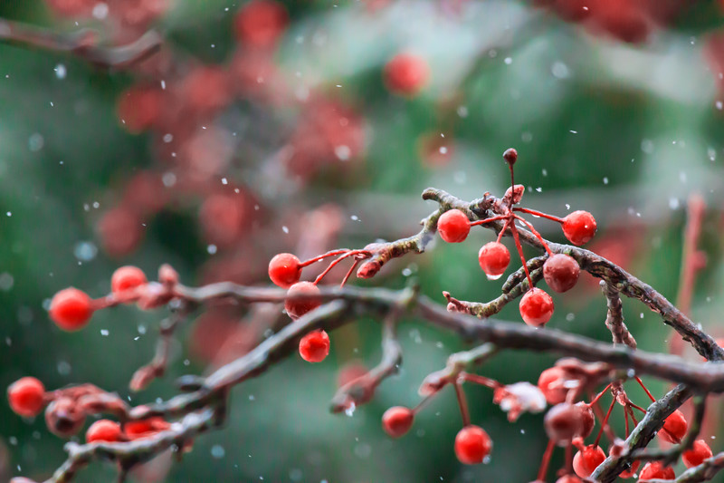 Winter Background with Falling Snow on Holly Branches