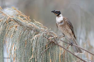 Noisy Friarbird (Philemon corniculatus)