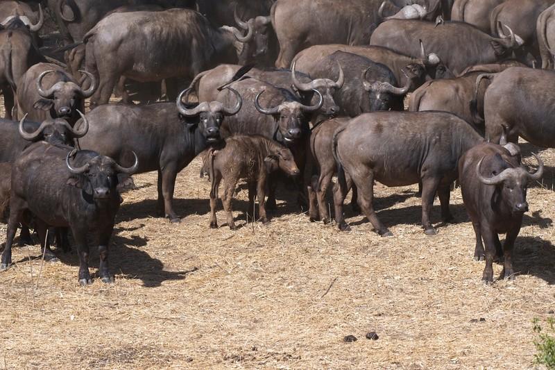 Cape Buffalo6.jpg