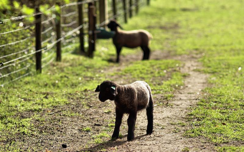 zwart schaap.jpg