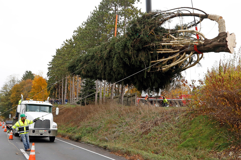 . This year\'s Rockefeller Center Christmas tree, a 75-foot tall, 50-foot in diameter, Norway Spruce, weighing more than 12 tons, guided onto a flatbed truck after being cut from the yard of Jason Perrin in State College, Pa., Thursday, Nov. 9, 2017. The tree will be driven to Rockefeller Plaza in New York City, and put in place on Saturday, Nov. 11, from 8 a.m to 11a.m. in front of 30 Rockefeller Plaza. (AP Photo/Gene J. Puskar)