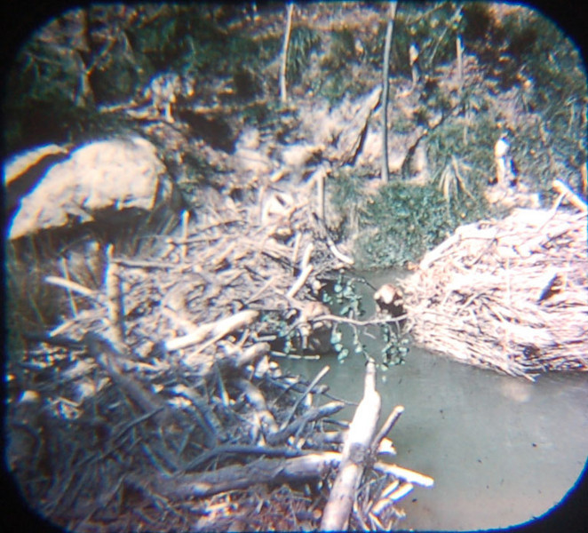 1959 Viewmaster picture of the beaver dam and lodge in Rivers of America. They look pretty realistic and one can get an idea of how cool they used to be, given that beavers were nearly hunted to extinction in the previous century.