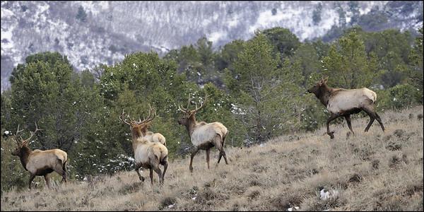 Deer   Elk   Moose