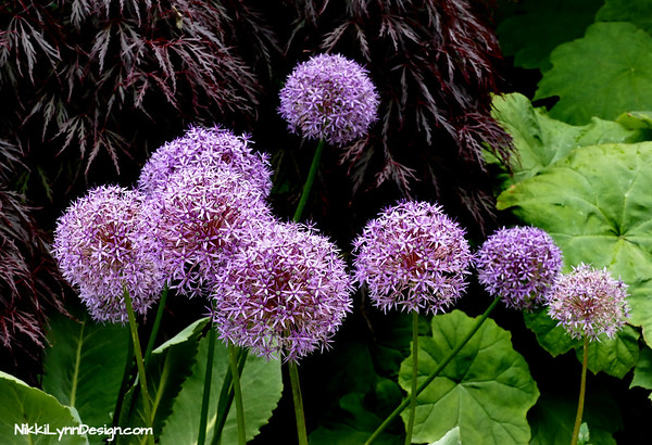 Allium is a good choice for any soil with excellent drainage in zones Zones 4 to 9. I love the massive globes of purple.