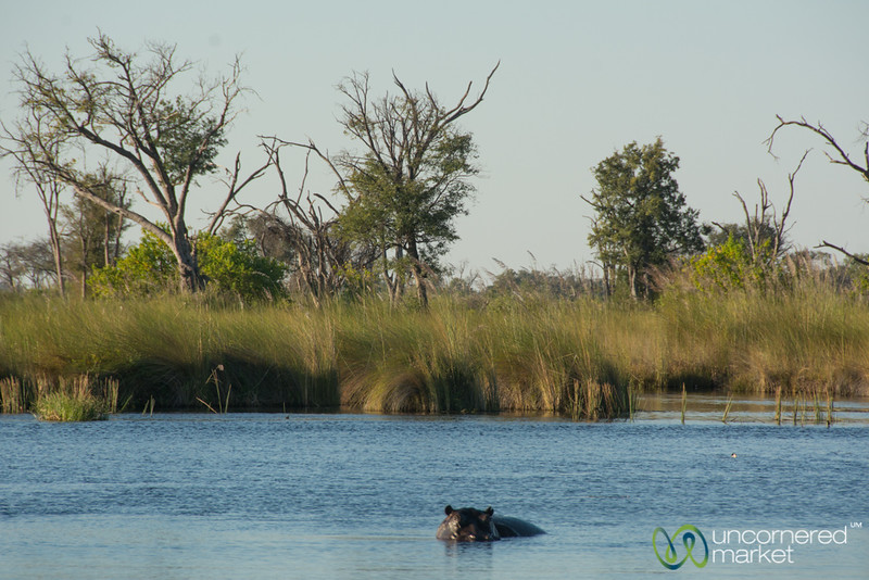 Hippo in the Water - Moremi Game Reserve, Botswana