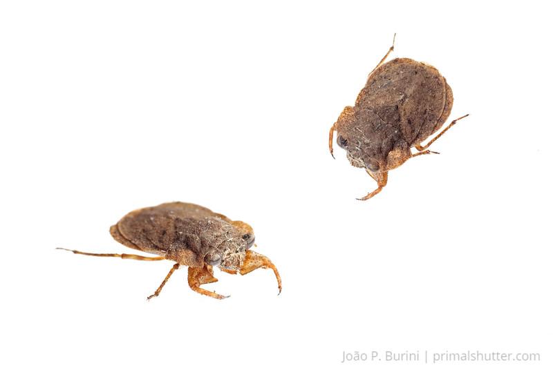 Toad bug (Gelastocoridae species) Ribeirão Grande, Brazil Tropical rainforest (Atlantic forest) October 2012