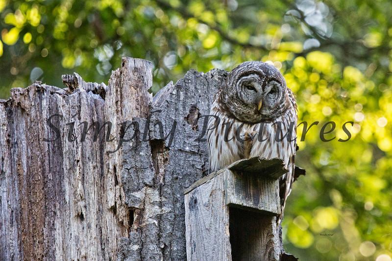 Owl  (21)