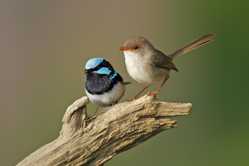 Superb Fairy Wren 2.jpg