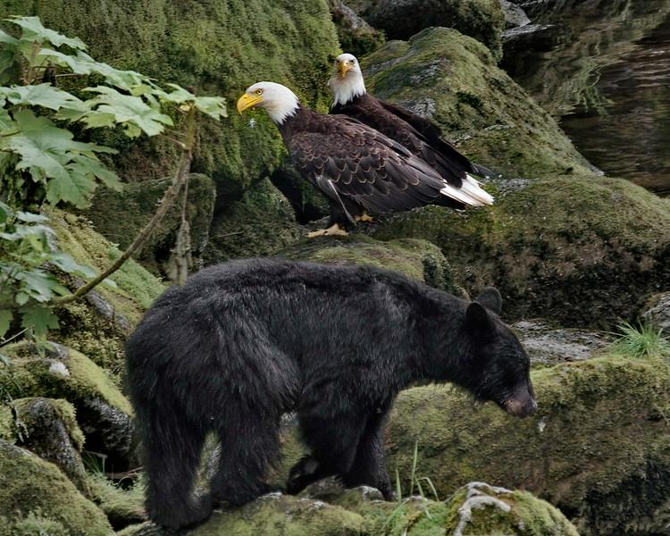 Alaska, Anan Wildlife Observatory, Bald Eagle, Black Bear, Tongass National Forest, Wrangell