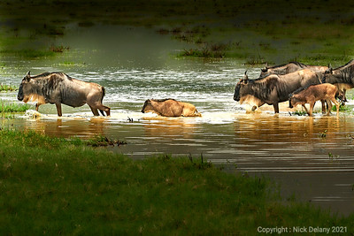Wildebeeste Crossing version 1