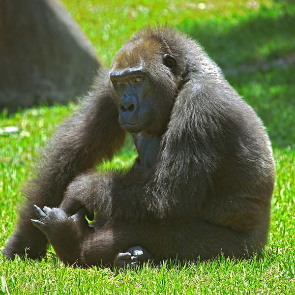 Gorila2_HDR2.jpg