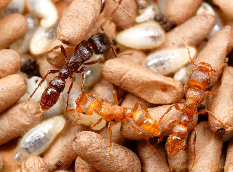 Gnamptogenys mordax adults, pupae, and larvae.  Ants darken as they age, so the different colors of the adults in this photo indicates time since eclosion.  Venezuela