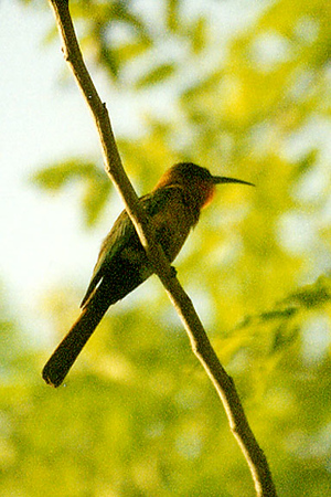 Red-throated Bee -eater