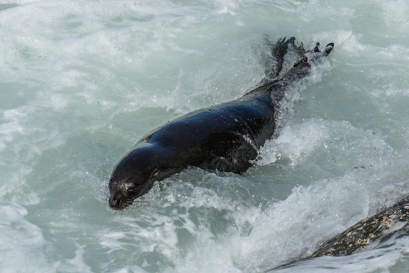 Schwimmender Seebär beim «Ohau Point»