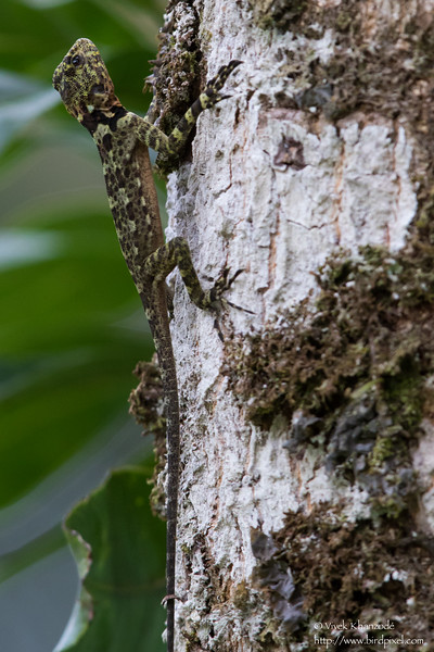 Unidentified Lizard species