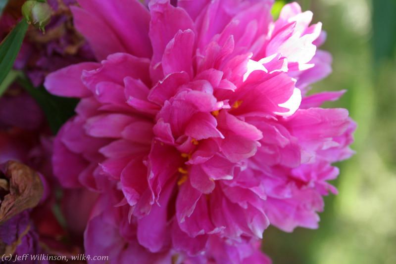 IMG_7870-flower-peony.jpg