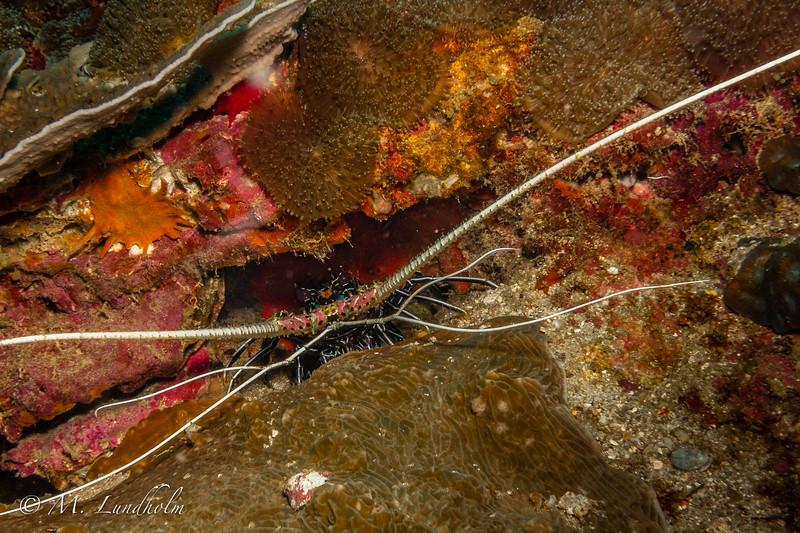 Spiney Lobster
