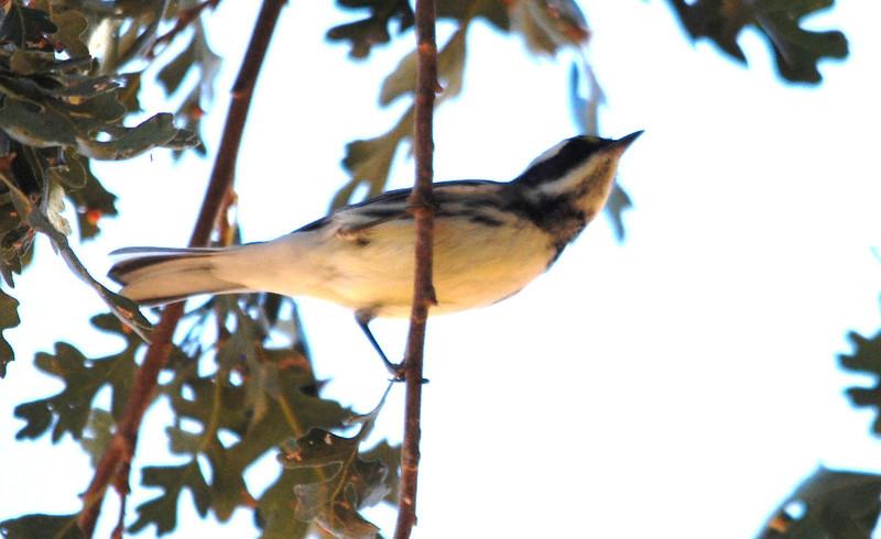 Black-throated Gray Warbler (3).JPG