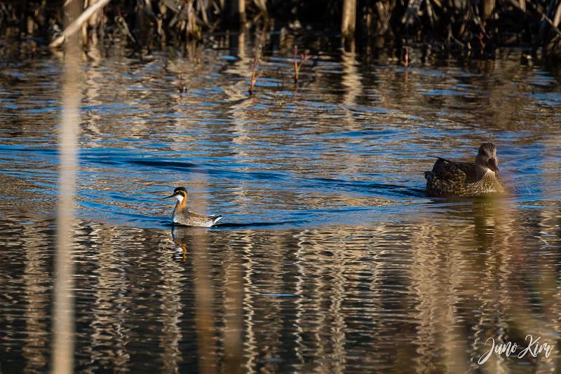 2020-05-12_Potter Marsh bird-_6109553-Juno Kim.jpg