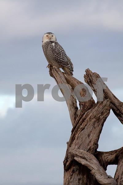 Snowy owl 4597.jpg