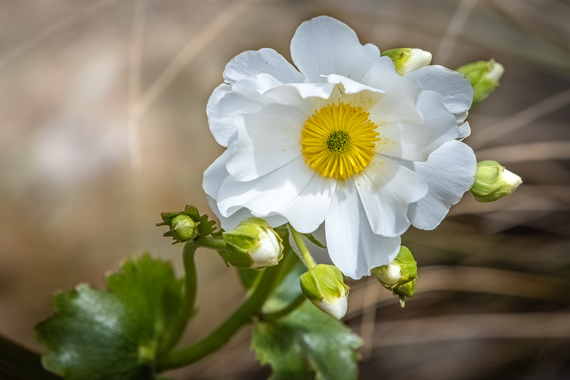 Mount Cook Daisy