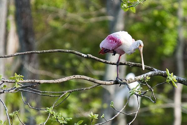 Avery Island Roseate Spoonbills