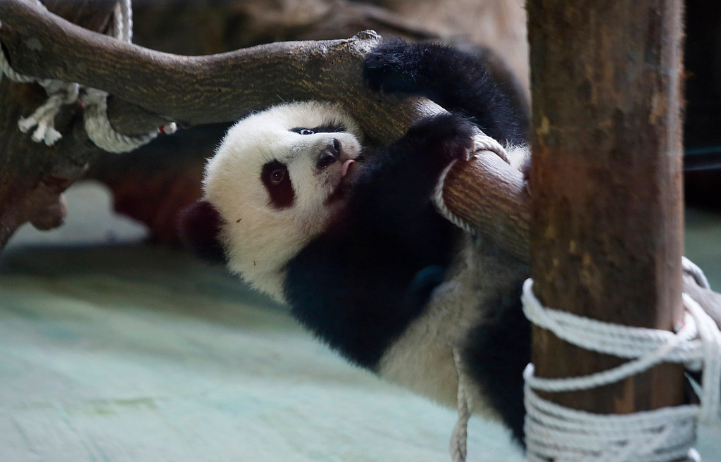 . Taiwan\'s six month-old panda cub Yuan Zai hangs precariously from logs as she is viewed by the public for the first time at the Taipei Zoo in Taipei, Taiwan, Monday, Jan. 6, 2014. The panda cub, whose parents were gifts from China to Taiwan in 2008, was unveiled to her adoring public Monday, as hundreds of visitors queued up at the zoo. (AP Photo/Wally Santana)