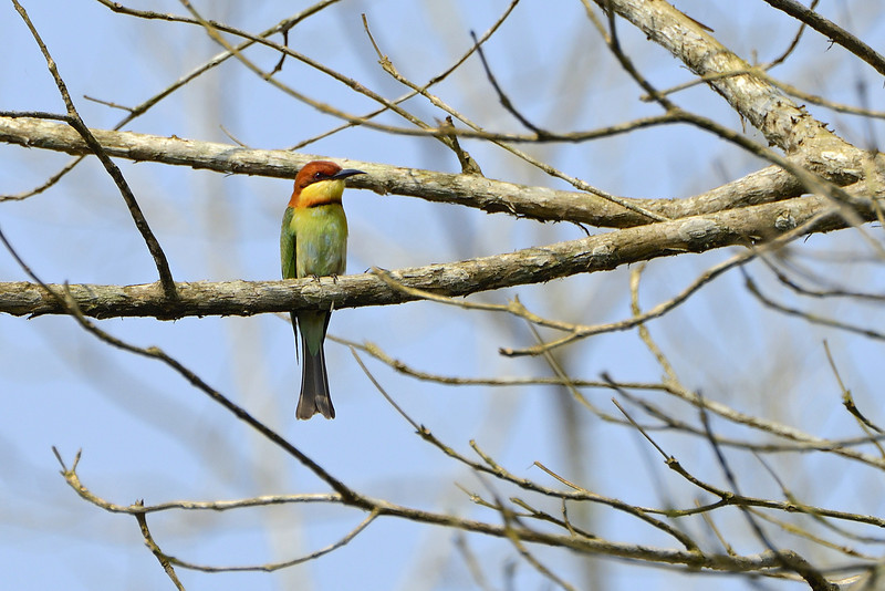 Chestnut-headed-bee-eater.jpg