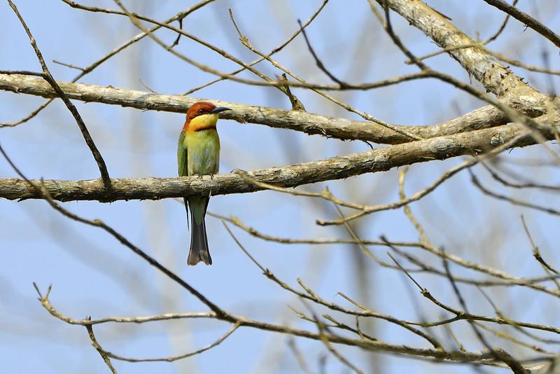 Chestnut-headed-bee-eater.jpg