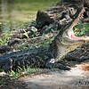 "©Bobbie Gallia; ""A Big Smile, Please""; Alligator at Avery Island Jungle Gardens,  Louisiana"