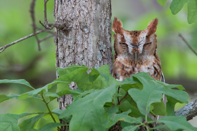Eastern-screech-owl-red-phase.jpg