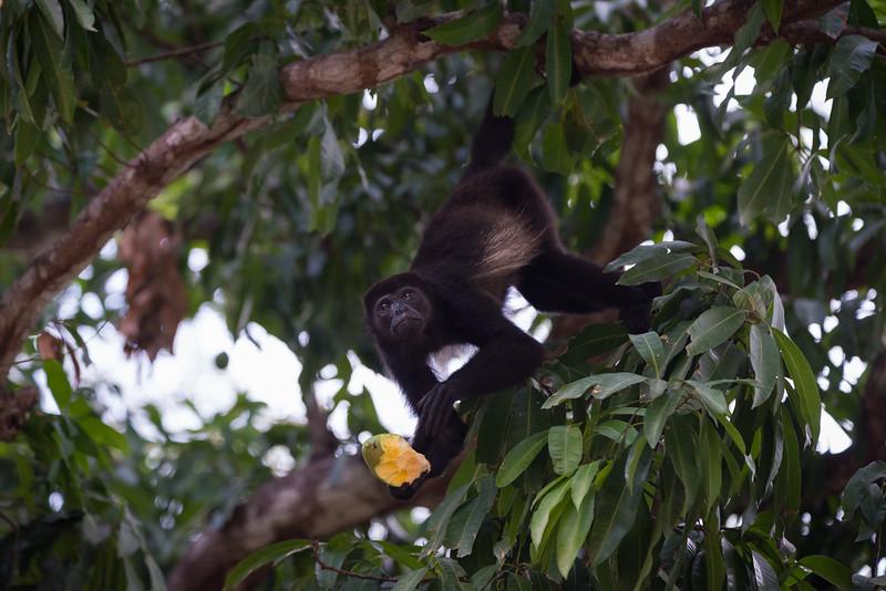 Howler Monkey eating a mango