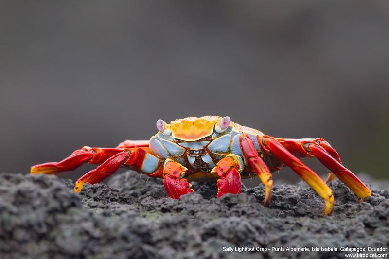 Sally Lightfoot Crab - Punta Albemarle, Isla Isabela, Galapagos, Ecuador