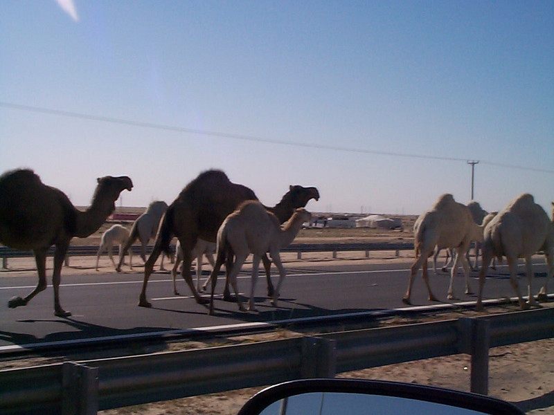Camel crossing1.jpg