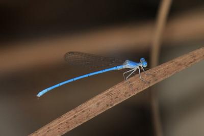 Arabicnemis caerulea