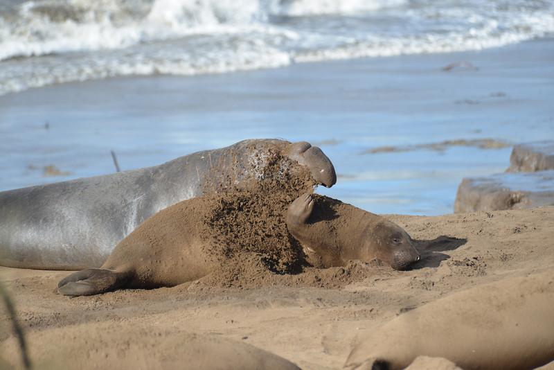 ano-nuevo-elephant-seals-2013 44.jpg