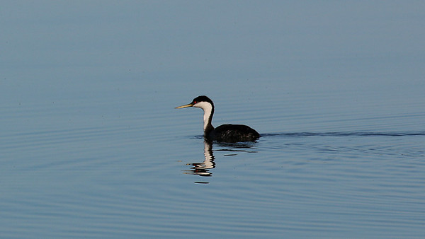 Humboldt County Bird Images Library