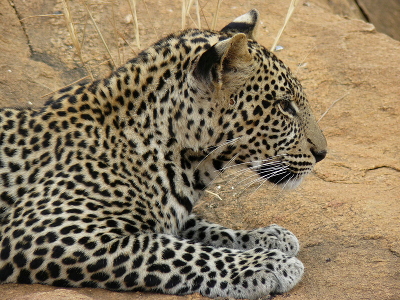 Leopard Tsavo East 5.jpg