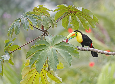 Keel Billed Toucan   photo take by Villa Toucan guest Richard Unsworth