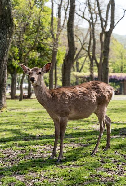 Tame spotted (sika) deer in Nara Park, Japan