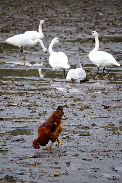 Chicken and Snow Geese, WA