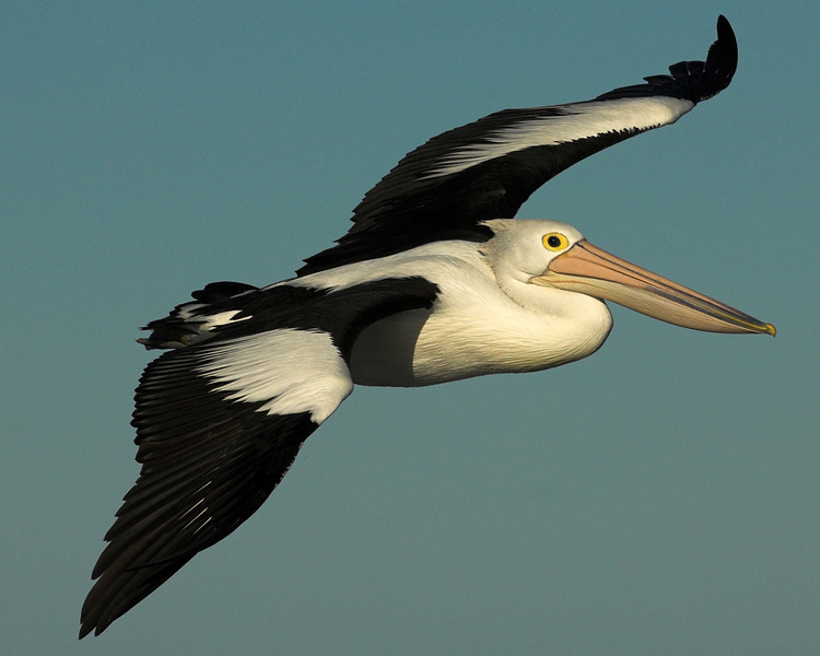 It's a pelican. What else could it be, an albatross with a weight problem?