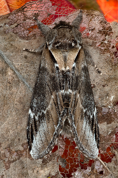 Western Black-rimmed Prominent Moth