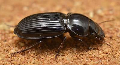 Phorticosomus spp (Harpalinae)