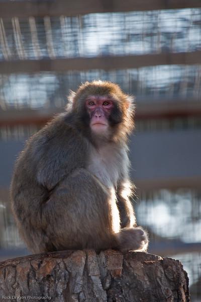 Japanese Macaque, Calgary Zoo February 20